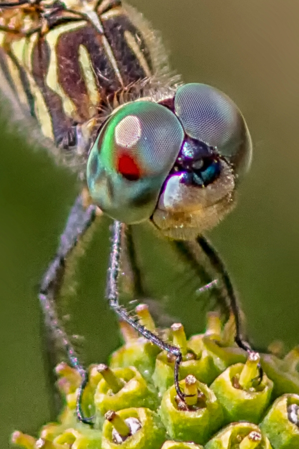 4 Blue Dasher _FM_vf vert cu 3_300mm_1_4X_7D_MG_0939-2