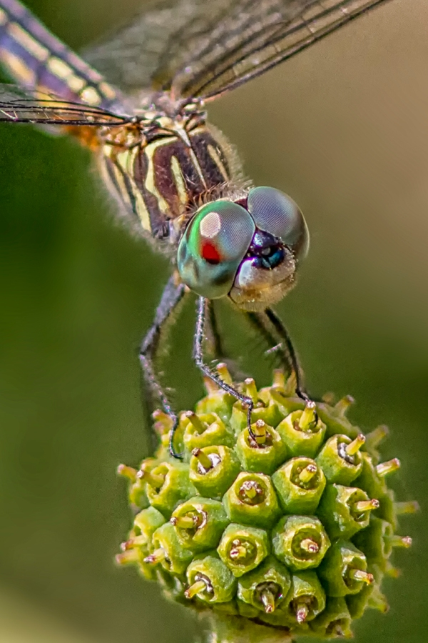 5 Blue Dasher _FM_vf vert 3_300mm_1_4X_7D_MG_0939-2
