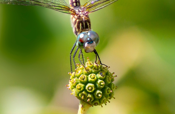 6 Blue Dasher FM_CU Crop 9img_Pano_v11_300mm f5_6_300mm 1_4X _7D