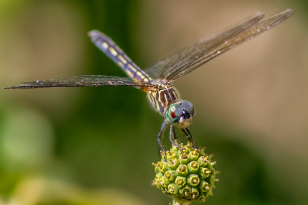 7 Blue Dasher _FM_300mm_1_4X_7D_MG_0939-2