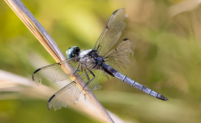 Blue_Dasher_2img_Stk_PP_8_19