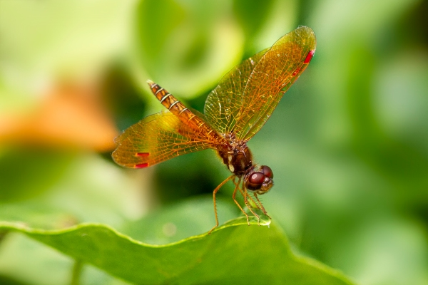 Eastern Amberwing_v3_1190_f8_1250iso_300mm f4_1_4X_7D 1250_ISO