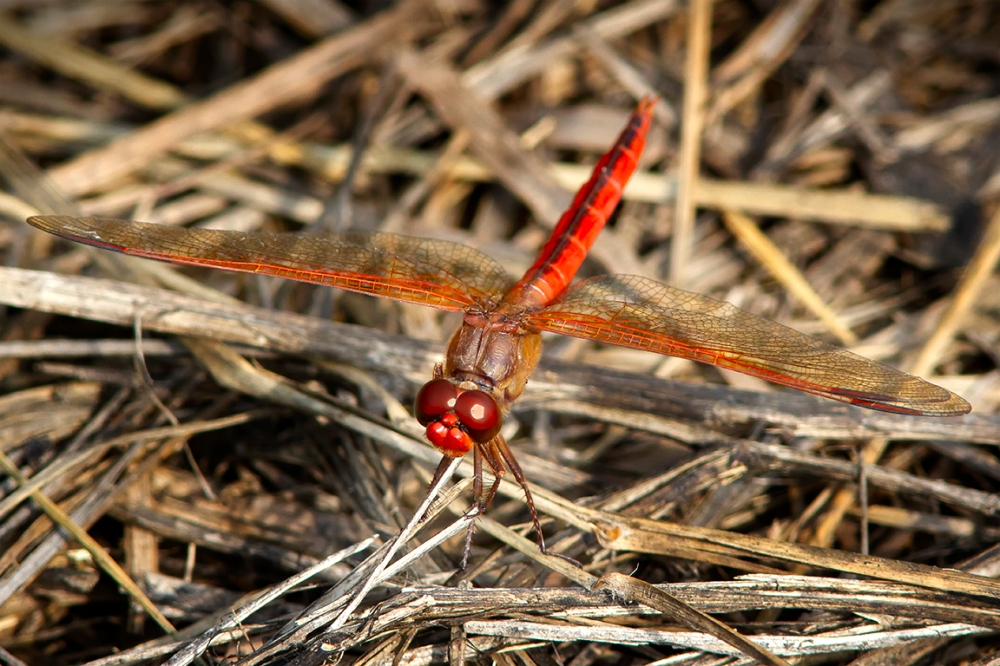 Golden-winged Skimmer_MaleBWR 8_18_MG_4892