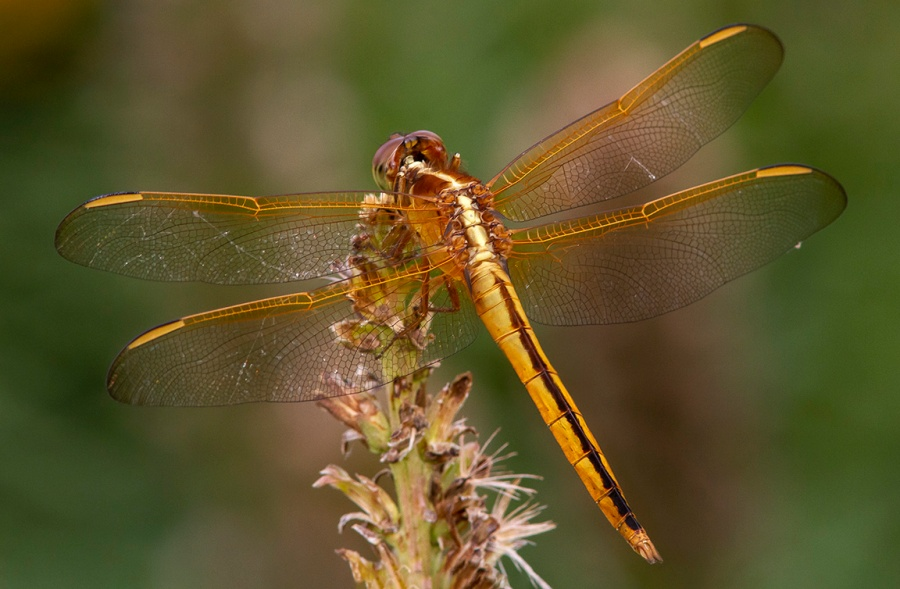 Golden-winged Skimmer_v2_BWR_8 18