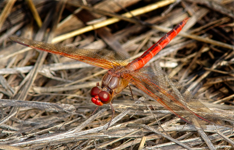 Golden-winged Skimmer_V3_BWR_8_18_MG_4874