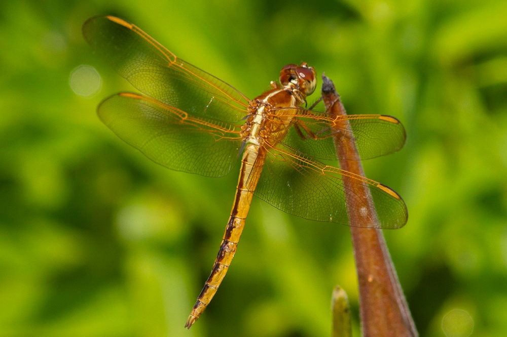Golden-winged_Skimmer_v1_BWR_MG_4548