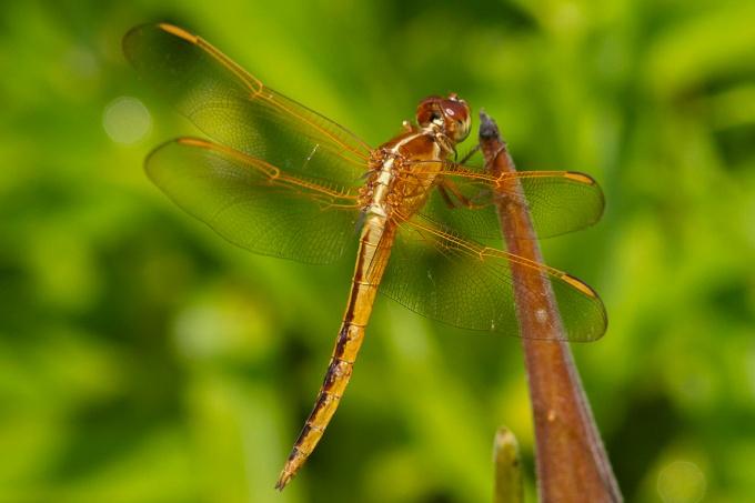 Golden-winged_Skimmer_v1_BWR_MG_4548