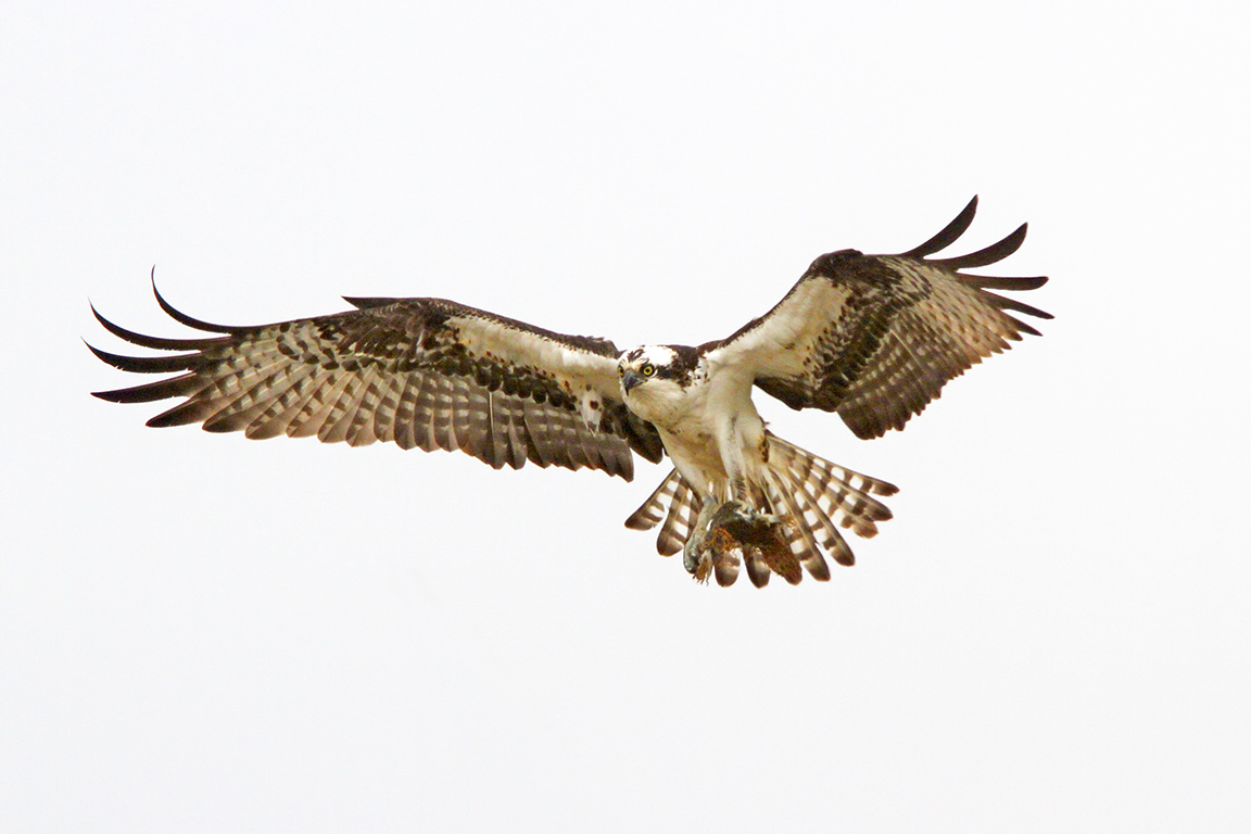 Osprey_fog_v1_400mm_1_4X_7D_MG_5286