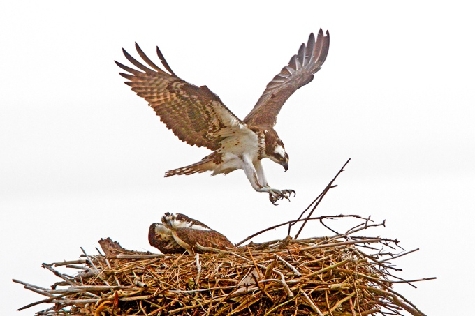 Osprey_Nest_Fog_400mmDO_1_4X_7D_MG_5575