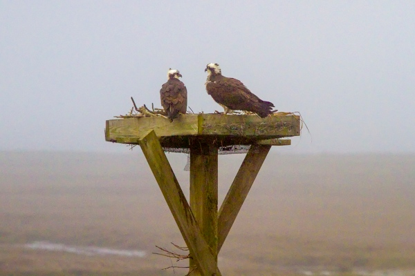 Osprey_Nest_v1_fog_400mm_MG_4834-2