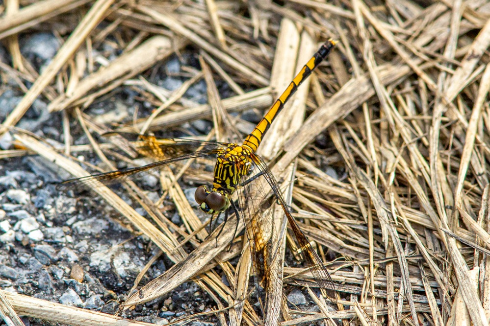 Seaside Dragonlet_300mm-1_4X_7D_MG_4862