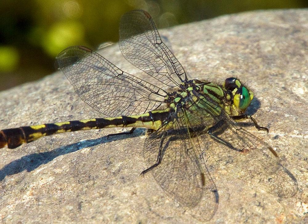 Unicorn Clubtail Dragonfly v2_1_4X 7D_MG_0651