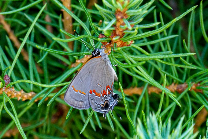 Banded Hairstreak_v2_150mm_2x_7D__MG_1757