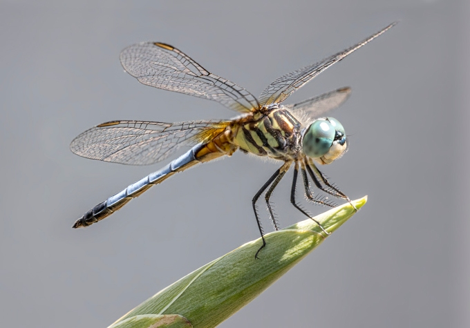 Blue Dasher v4
