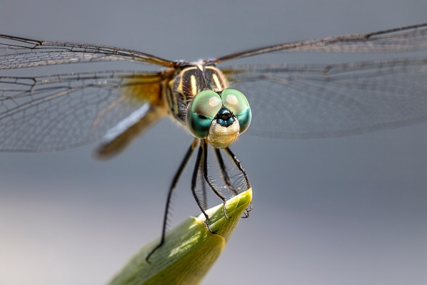 Blue_Dasher_v3_portrait vert 300mm f4_2X_Canon R_v2_ v1076A4672