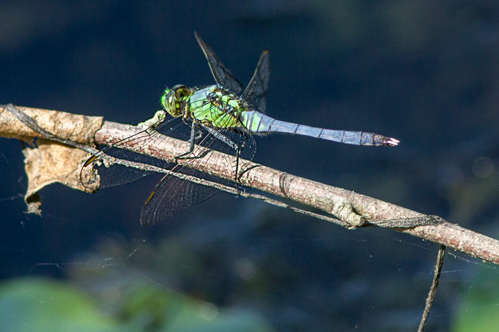 Eastern Pondhawk_v1_male_DM_m43_300mm_MG_3738