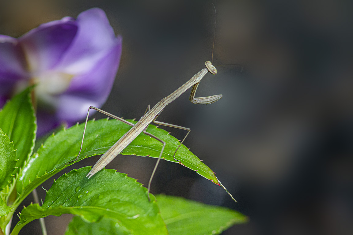 Prating Mantis_v2_300mm_2X_1DmkIV_43G0993