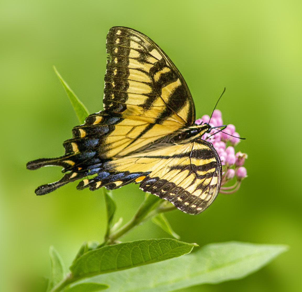 Swallowtail_v4_960mm_7D_MG_2578