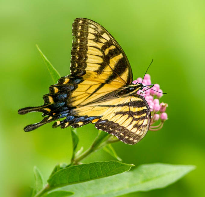 Swallowtail_v4_960mm_7D_MG_2578