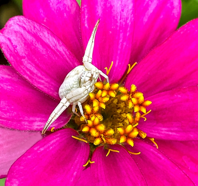 White_Crab_Spider_v5_yard_iP11_4_3mm_lens_26mmFF_v2_camera+2_app